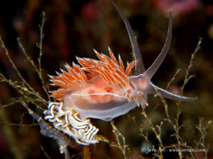 Flabellina lineata by Jorn Ari 